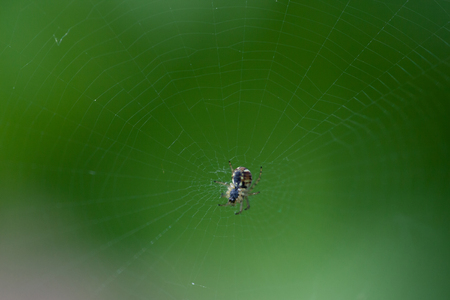 Close up of garden spider sitting on his web. Springtime macro of spider.