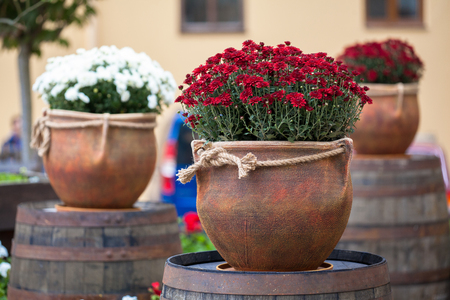 Large flower pots with white and burgundy chrysanthemums. Vases with flowers stand on wooden barrels. Sale of flowers Foto de archivo