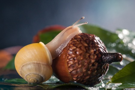 Little Snail atop acorn. Closeup