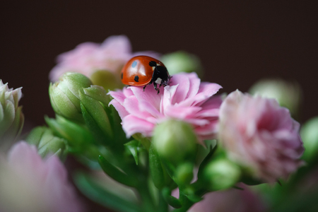 Ladybug On Beautiful Flowering Flower Kalanchoe. Kalanchoe house plant 版權商用圖片