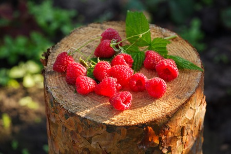 Fresh red raspberries on stump. Fresh organic fruit. Close up.