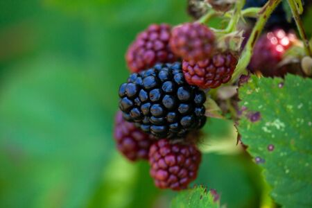 Ripe and unripe blackberries on the bush. Bunch of blackberries.