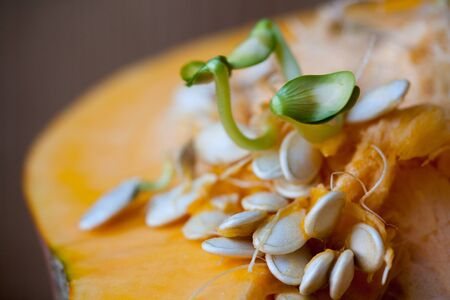 Sprouting pumpkin seeds and fibrous strands within cut pumpkin. Shallow Depth of Field Zdjęcie Seryjne - 131496234