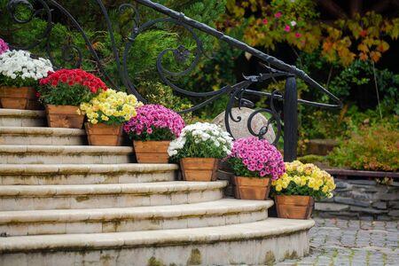 Beautiful chrysanthemum flowers in wooden pots decorate the stairs. Chrysanthemum garden design plants fall decorating outdoor stair 版權商用圖片