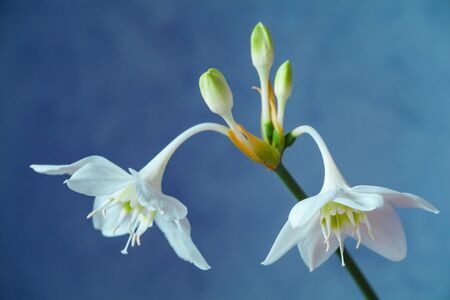 Beautiful Eucharis, the English name Amazon lily, flower close up against blue background.