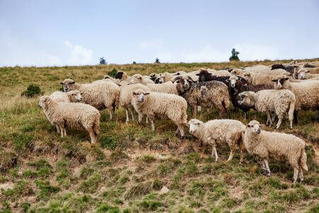 A flock of sheeps grazing in the highlands. Mountain scenery with sheeps in Carpathians Stock Photo