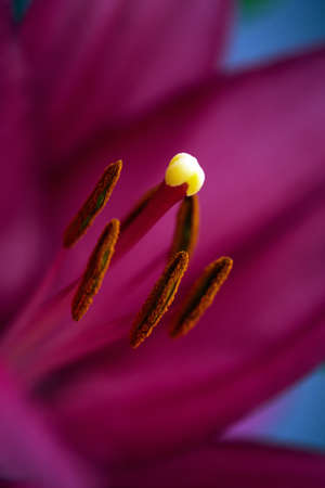 Big pistil and stamens of blooming lily flower in macro. Natural background of beautiful petals of red blooming lily in macro. Soft selective focus