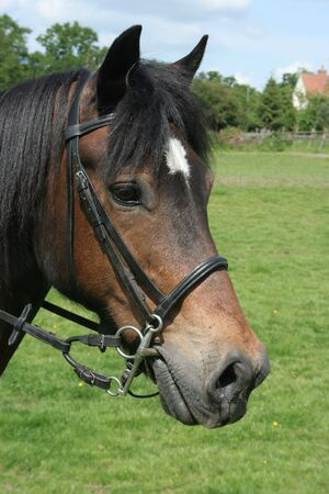 Welsh Cob Portrait Stock Photo