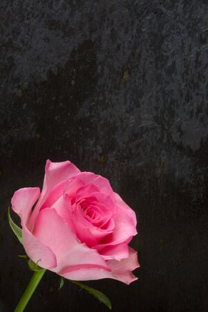 A Pink Rose on a bed of slate photo
