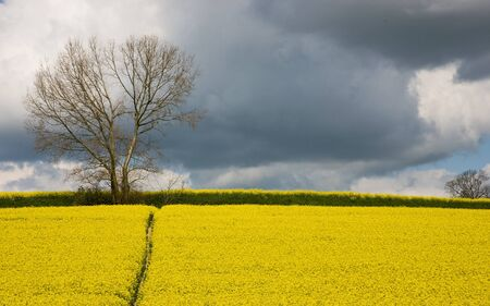 A field of rapeseed with a footpath and storm clouds photo