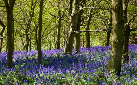bluebell woods: A wood in spring with bluebells Stock Photo