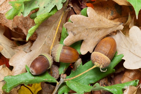 Acorns on a bed of autumn leaves Stock Photo