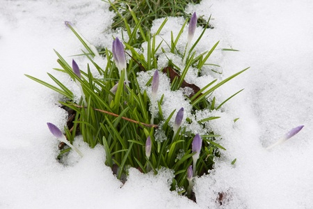 crocuses: Crocus buds showing through the last of the winter snow