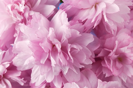 A close up of pink cherry blossom in spring