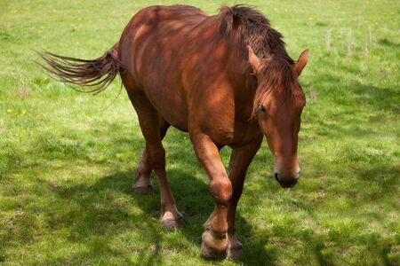 shire horse: Close up of a British Suffolk Punch shire horse