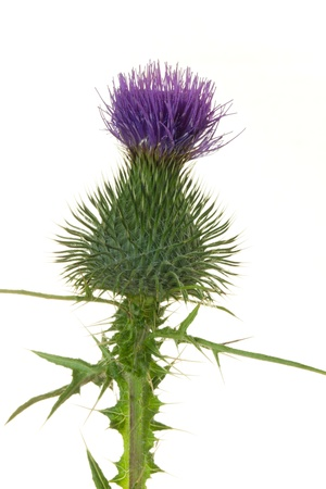 Close up of a thistle flower against white photo