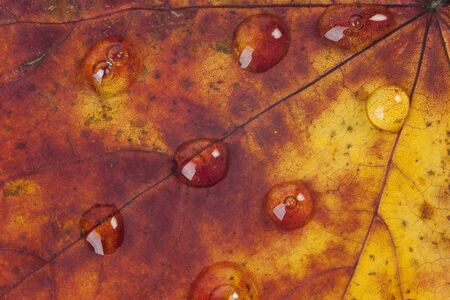 Close up of raindrops on an autumn leaf photo