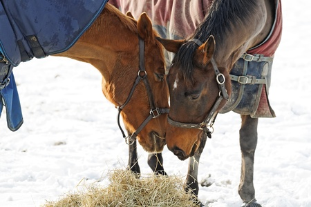 2 Horses in a snow covered paddock in a pose as if sharing a secret photo