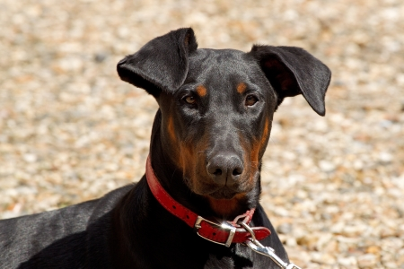 Portrait of a young Doberman pedigree dog photo