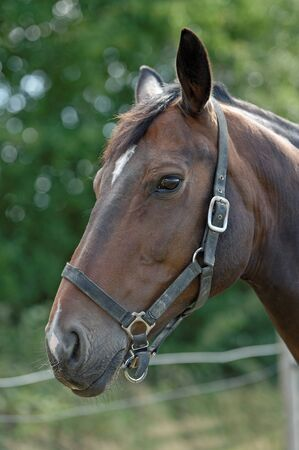 Portrait of a Thoroughbred horse wearing a head collar photo