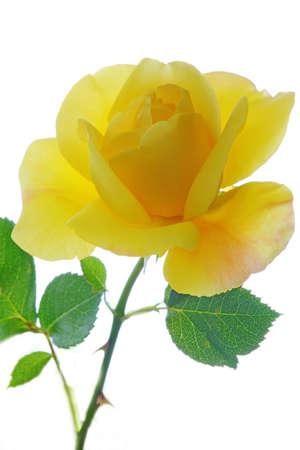 rosas amarillas: Yellow Rose en clave alta de cerca contra el cielo