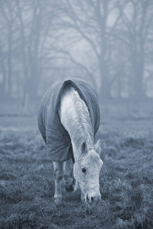 emphasise: Old white horse grazing in a field on a misty winter day. Cyanotype effect added to emphasise cold weather