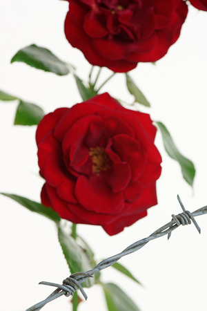 constraint: Roses behind barbed wire symbolising constraint or restriction Stock Photo