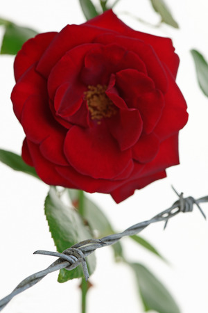 constraint: Rose behind barbed wire symbolising constraint or restriction - shallow d o f Stock Photo