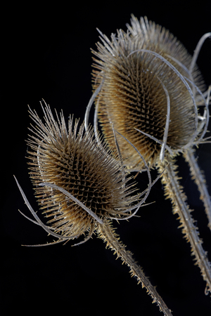 historically: Close up of a wild teasel (Dipsacus Fullonum) in Autumn. These were used historically in cloth manufacture.