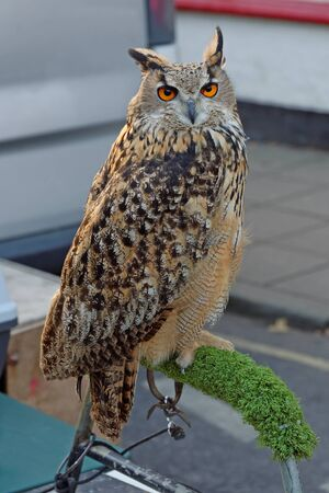 Portrait of a Eurasian Eagle Owl tethered on a perch Stock Photo