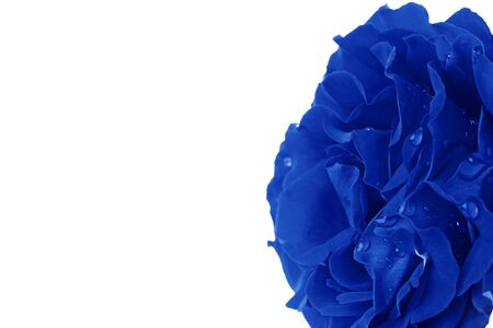 Close up of a Rose converted to blue against a white background