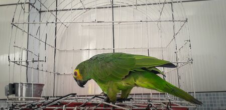 Parrot of Brazil in cages. In Recife this is common.