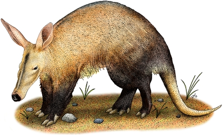 aardvark: Aardvark Stock Photo