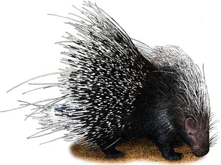 porcupine: African Crested Porcupine