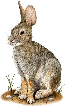 砂漠ワタオウサギ