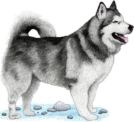familiaris: Alaska Malamute