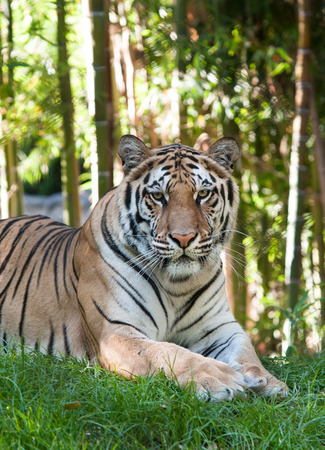Bengal Tiger resting in the forest