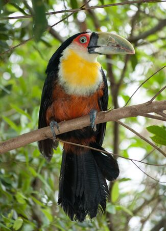 beak: Tucano green beak