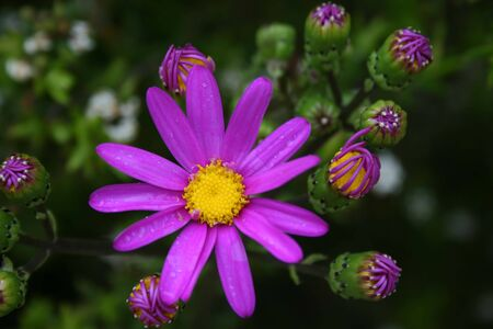 senecio: Purple Groundsel - Senecio elegans Stock Photo