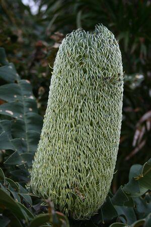 centimetres: West Australian Wildflower - flower heads are up to 40 centimetres long by 10 centimetres wide.  Bull Banksia - Banksia Grandis