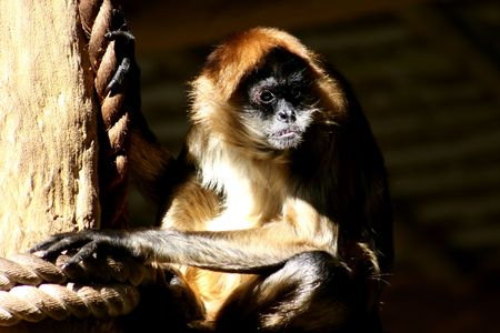 mournful: Spider Monkey looking mournful at the zoo