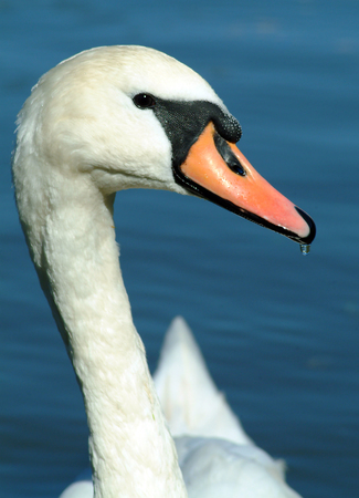 A Swan just after drinking water Stock Photo