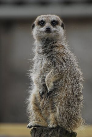 A Meerkat looking at the camera Stock Photo