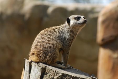 A meerkat sitting on a log