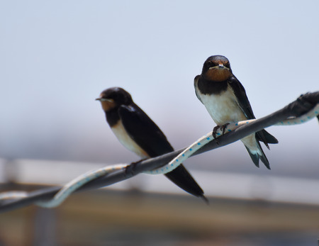 A Pair of Barn swallows resting ona  wire
