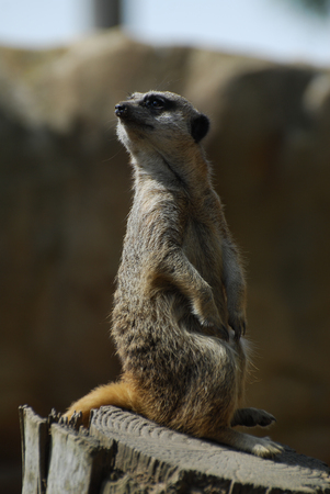 A meerkat looking into the distance