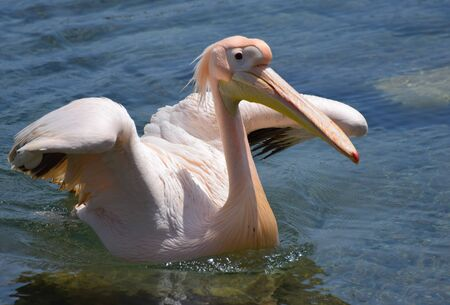 A Pelican in Cyprus by the dock