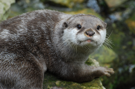 An Otter looking at the camera