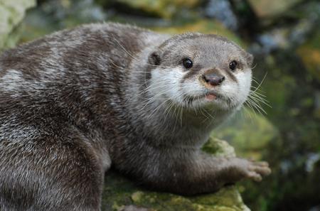 Ein Otter , der die Kamera betrachtet