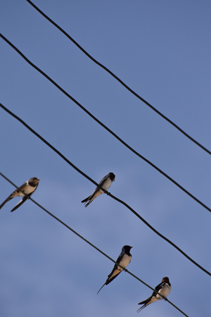 Four Barn Swallows perched on Telegraph Wires